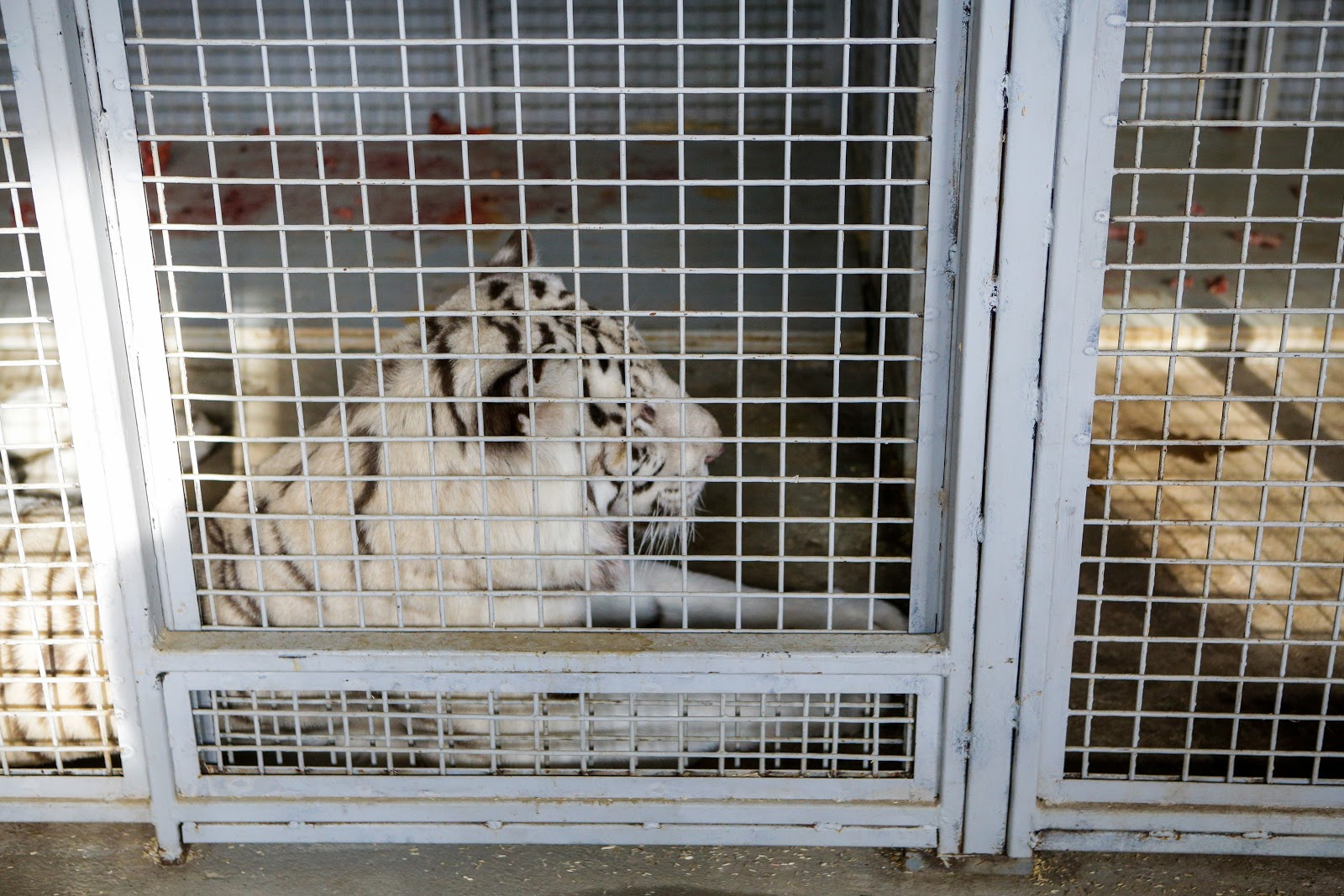 White tiger inside a cage
