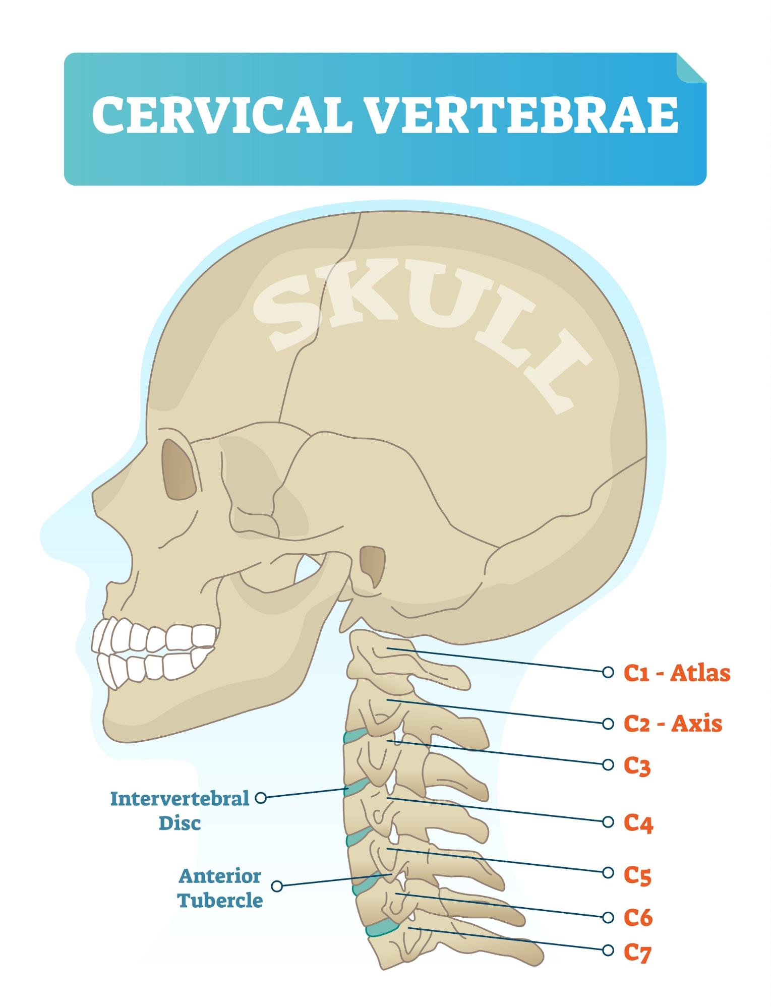 Diagram of the cervical vertebrae