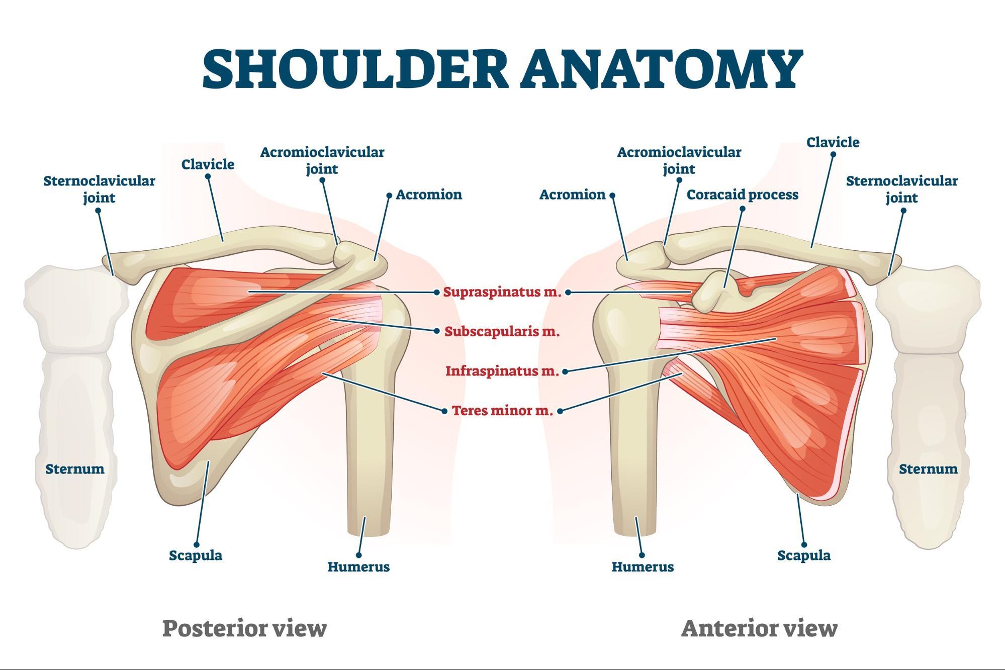 Diagram showing shoulder anatomy