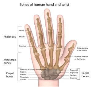 Anatomy of the hand with labels